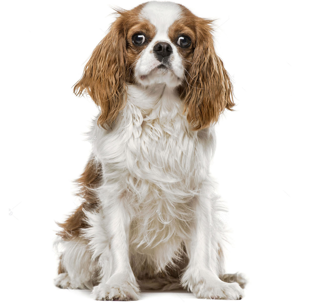 The ultimate dog breed guide by size entirely pets cavalier king charles spaniel nvjuhfo Choice Image