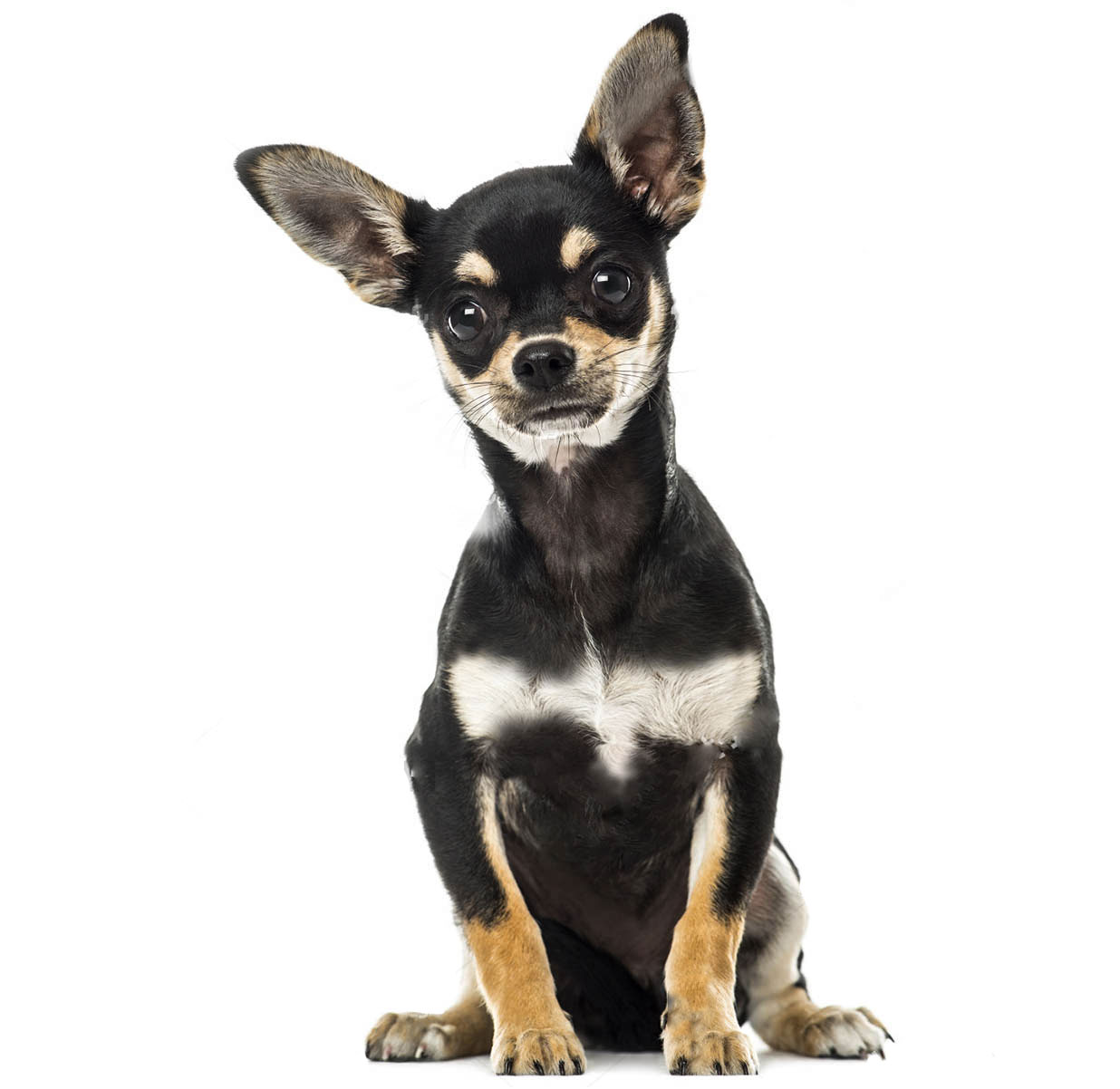 The ultimate dog breed guide by size entirely pets chihuahua nvjuhfo Images