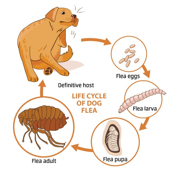 flea aging and a dog scratching itself