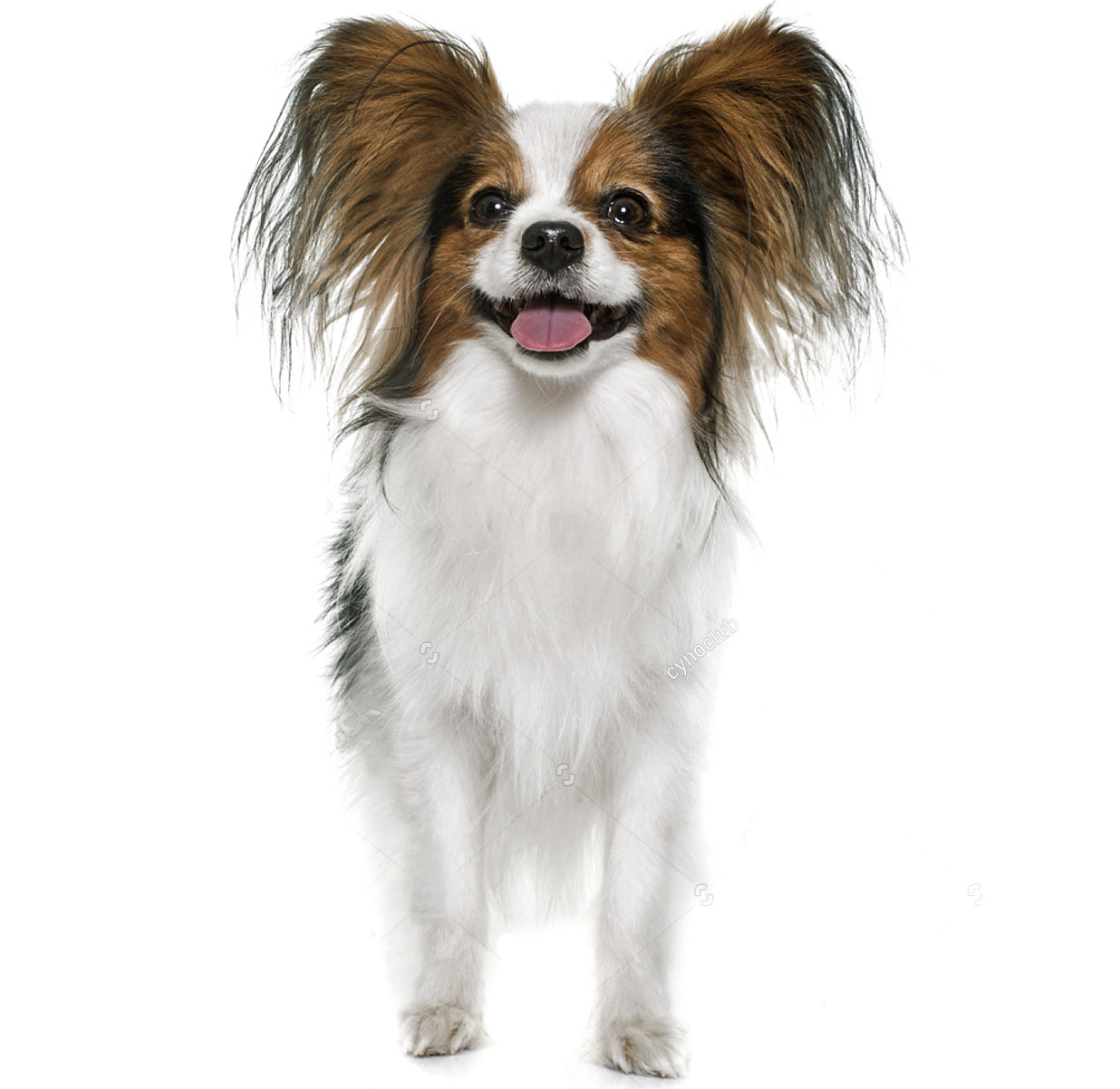 The ultimate dog breed guide by size entirely pets papillion nvjuhfo Images