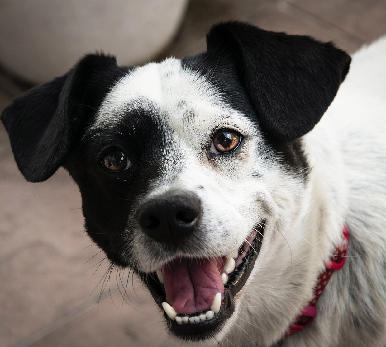 Zymox Otic With Hydrocortisone For Dogs