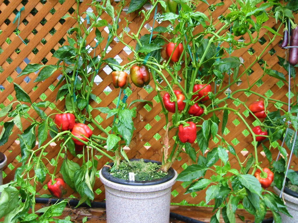 What is the best soil for tomatoes - All Rights Reserved Hydrosystems The Urban Farm Urban Farm Fertilizers Texas Tomato Food Flowers Blooms Tomato Heaven Leafy Greens