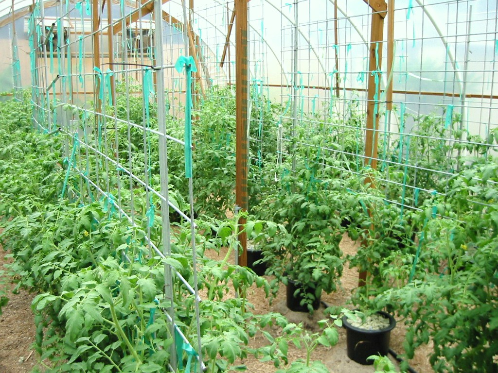 how to grow tomatoes., Natural flower